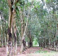 rubberwood plantation